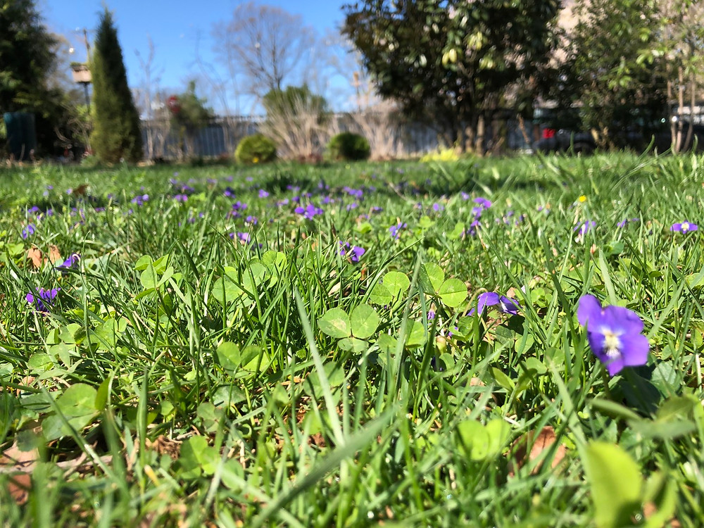 Lawn with Violets - Maryland  & Virginia Native Plants and Grass
