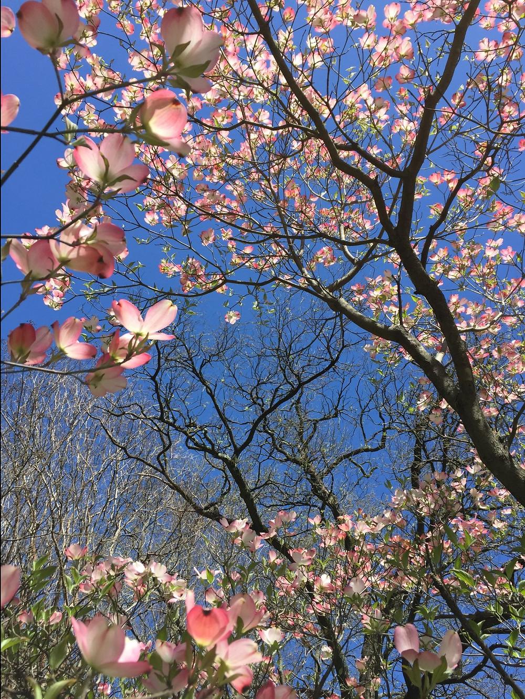 pink-dogwoods-against-sky.jpg