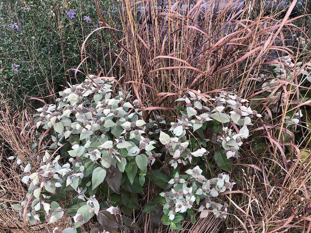 Mountain Mint (Pycanthemum)