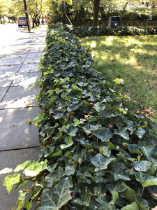 English ivy, neat and trimmed,