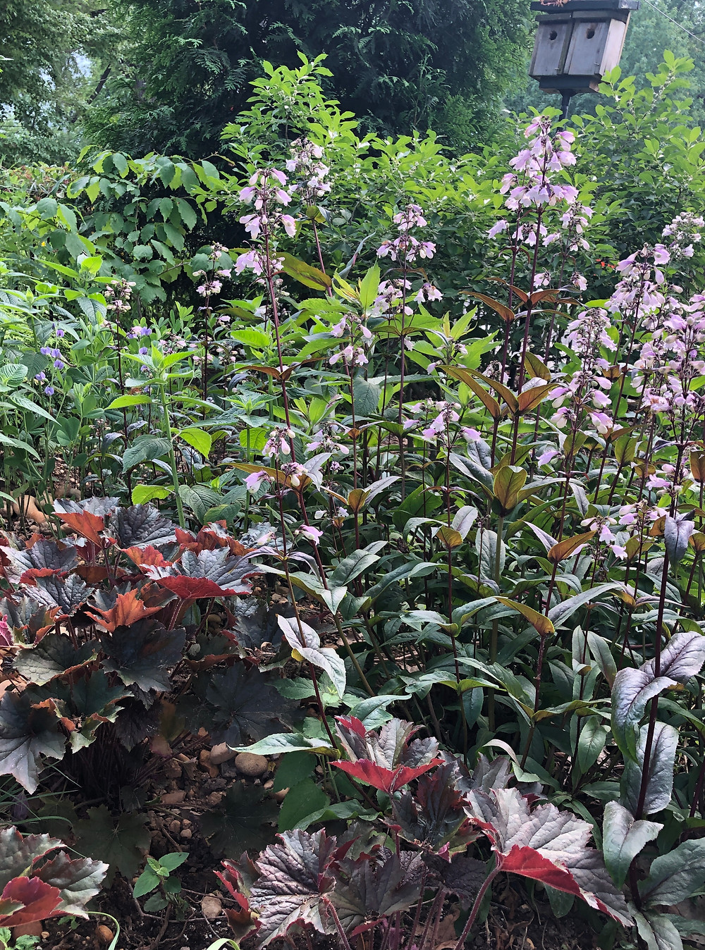 native penstemon cultivar