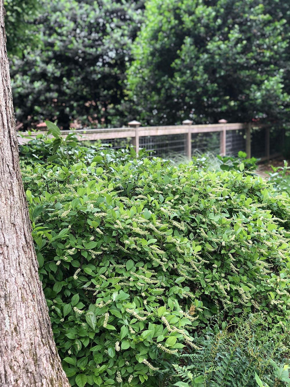 itea shrub as ground cover beneath an oak