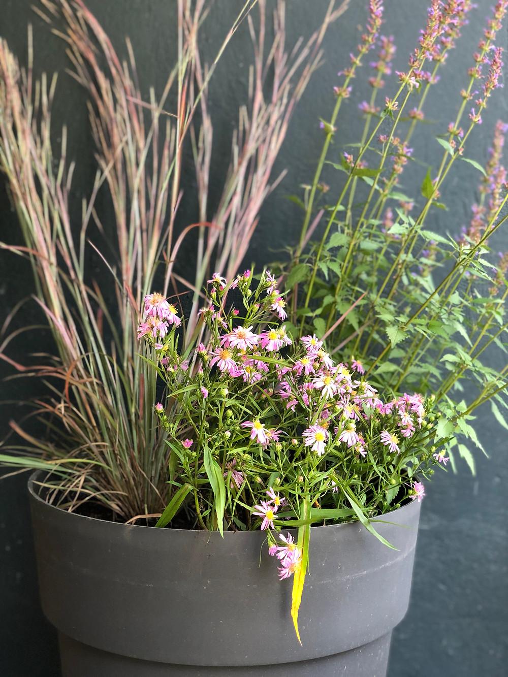 native perennials in container aster, bluestem, hyssop