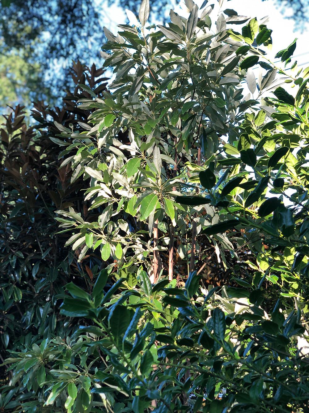 sweetbay magnolia native