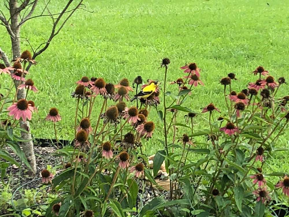 goldfinch feeding on native coneflowers