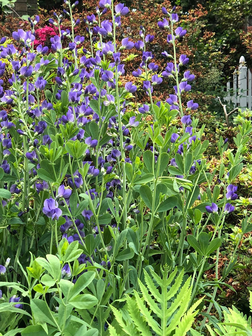 native drought tolerant blue flower