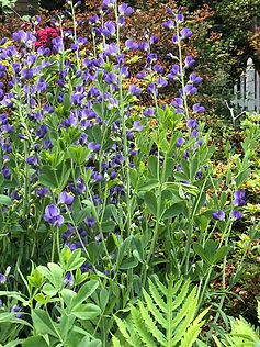 Baptisia blue flower wands.JPG