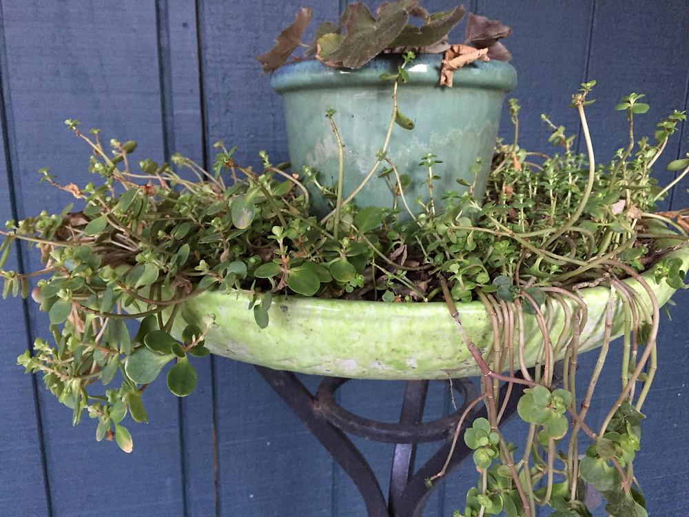 Sedum ternatum, native sedum