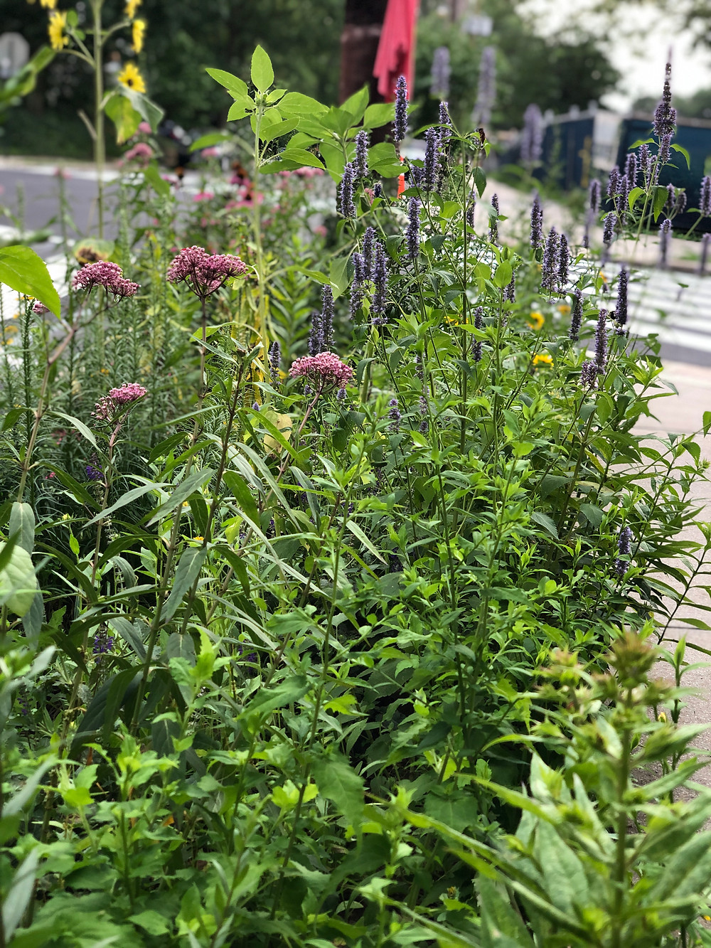 swamp milkweed and agastache in tree lawn