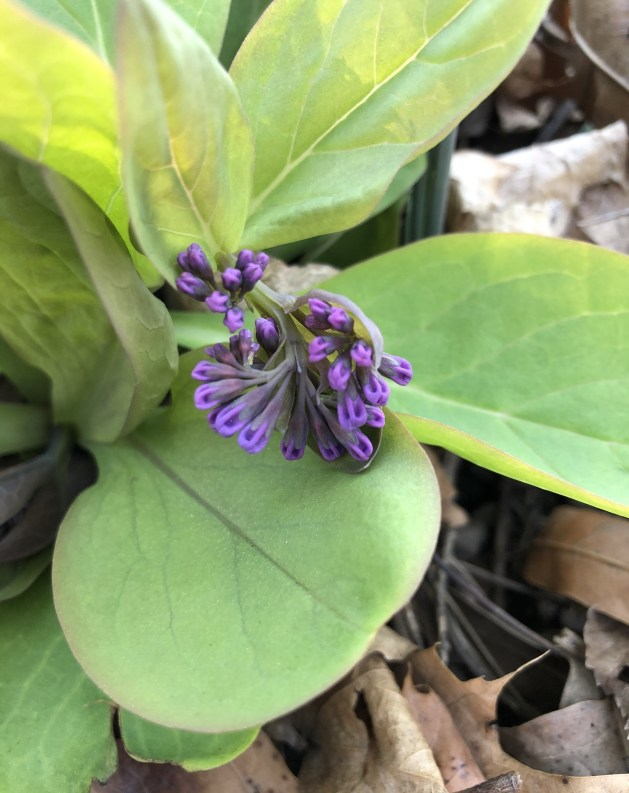 Virginia bluebell flower bud