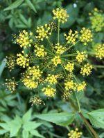 Maryland Native Plants & Virginia Native Plants - Zizia