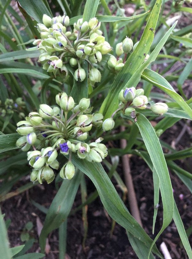 Native MD and Virginia Plants - Spiderwort closed flowers