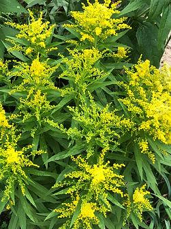 goldenrod little lemon.JPG