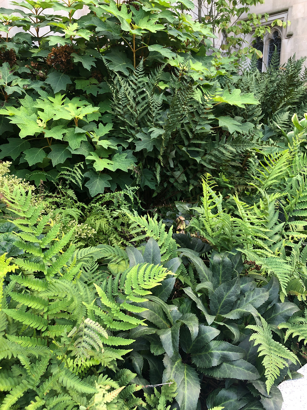 ferns in National Cathedral Garden