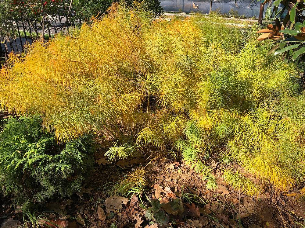 native amsonia in fall color