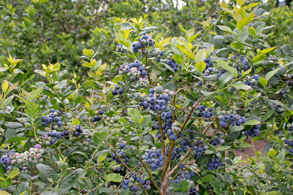 native high bush blueberry