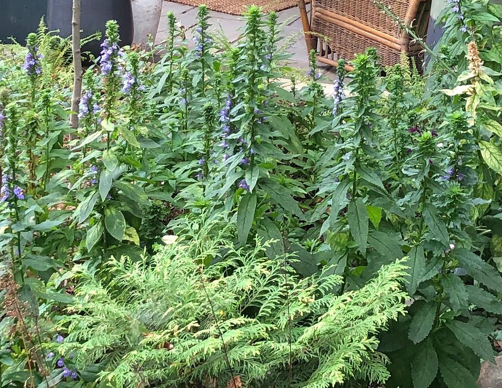 native blue lobelia in home garden