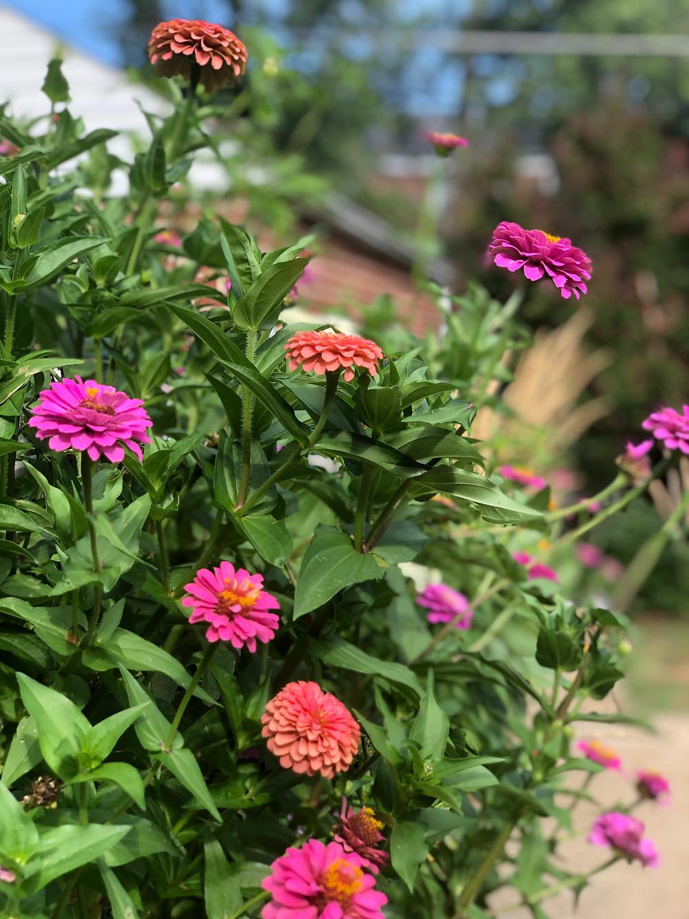 zinnias in bloom