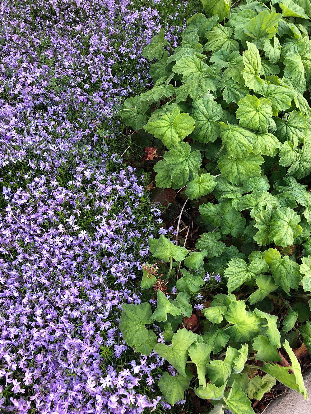 phlox and heuchera