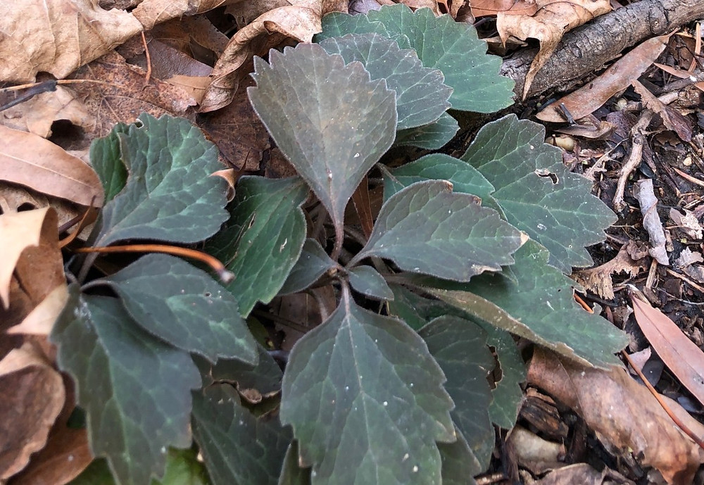 pachysandra allegheny spurge winter