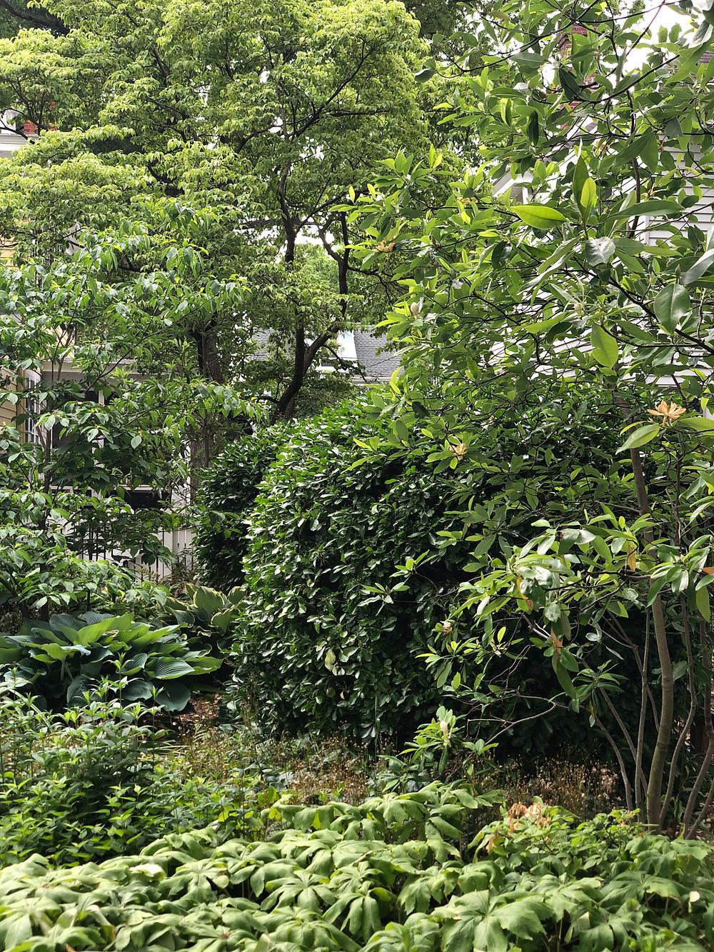 dogwood, sweetbay magnolia, mayapple