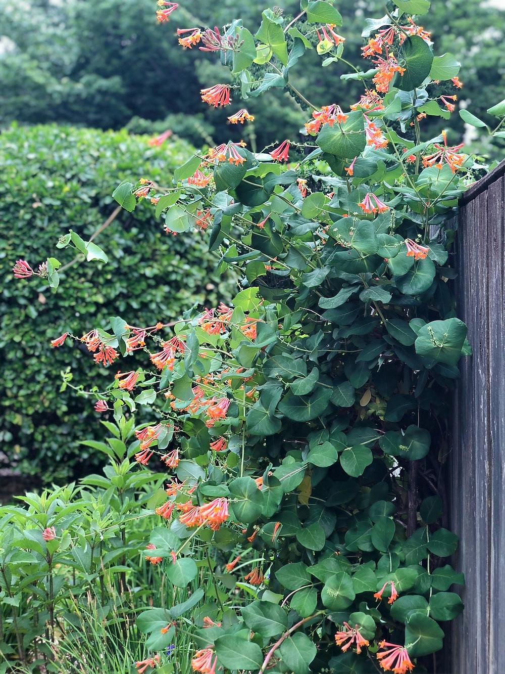 Native trumpet vine along wooden fence