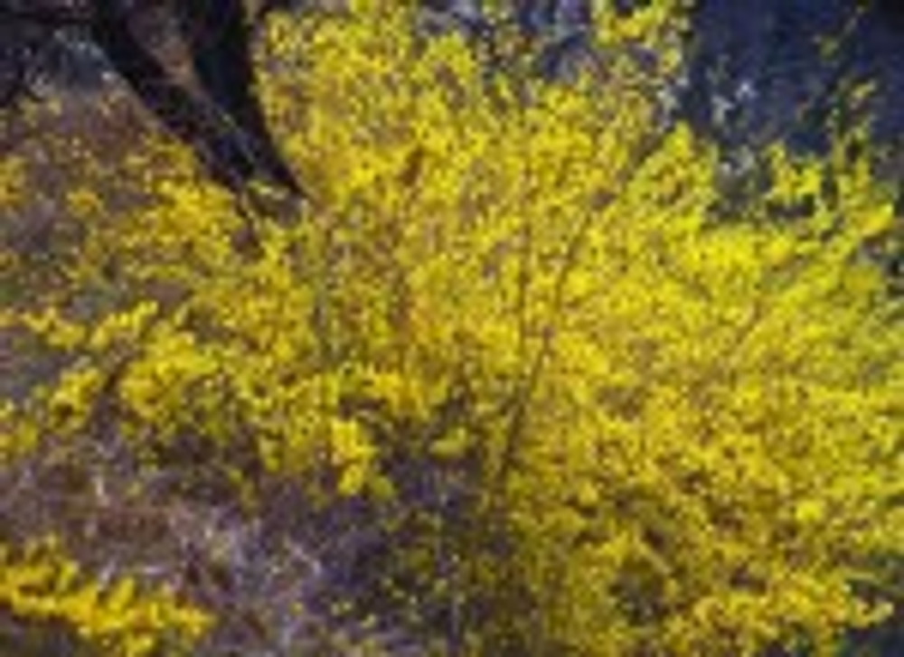 forsythia stock