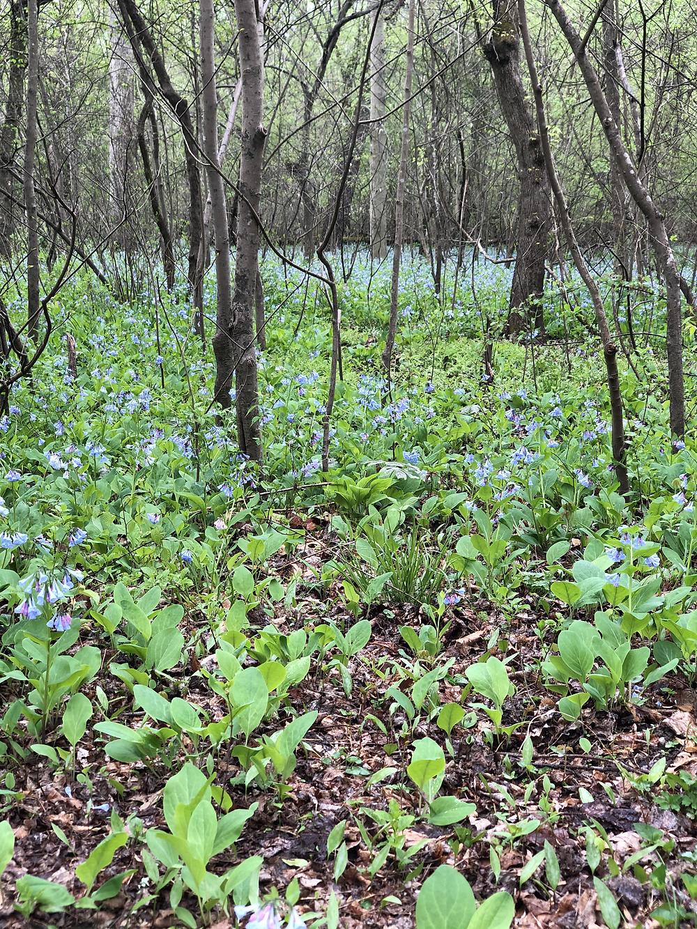Carpet of native Virginia bluebells in Rock Creek Park