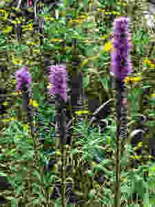 native liatris in bloom