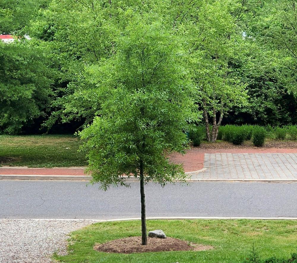 native willow oak