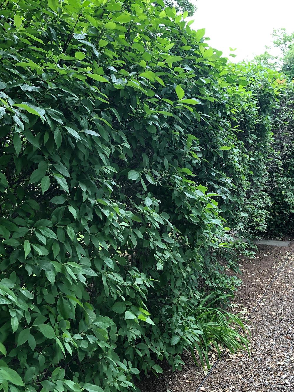 winterberry sheared hedge