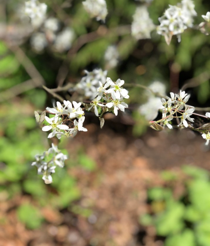 Serviceberry bloom clusters