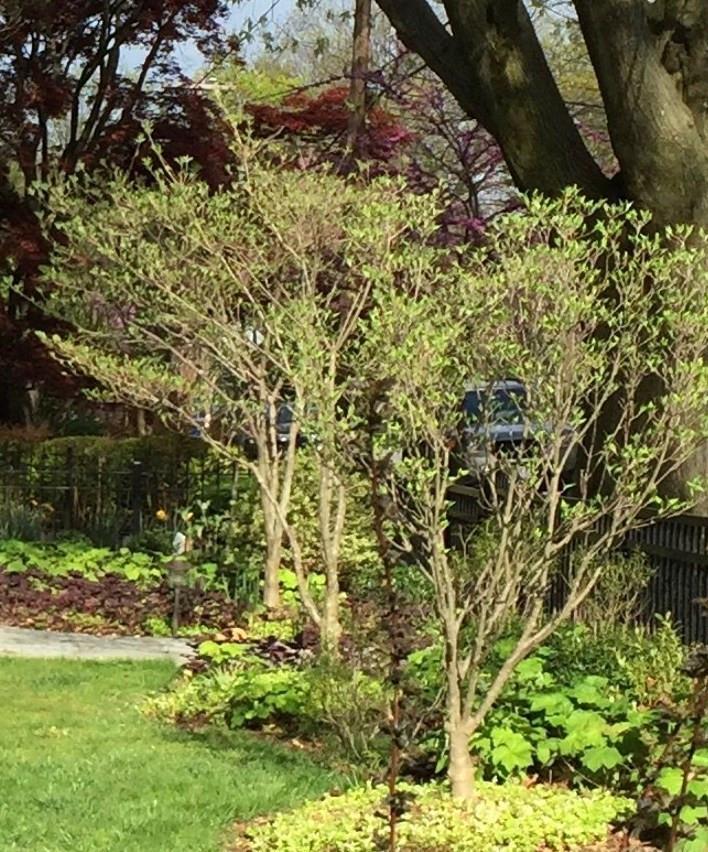 kousa dogwood spring