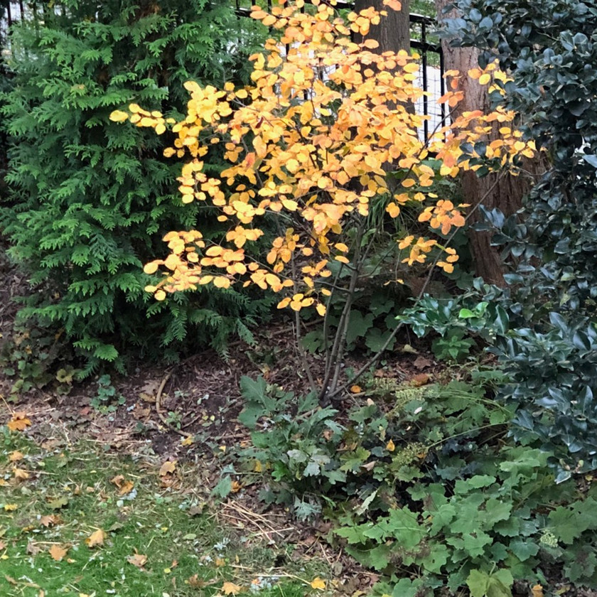 Serviceberry in Fall