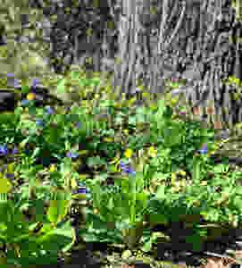 Maryland Native Plants & Virginia Native Plants for Chesapeake Bay Region - Spring Blooming
