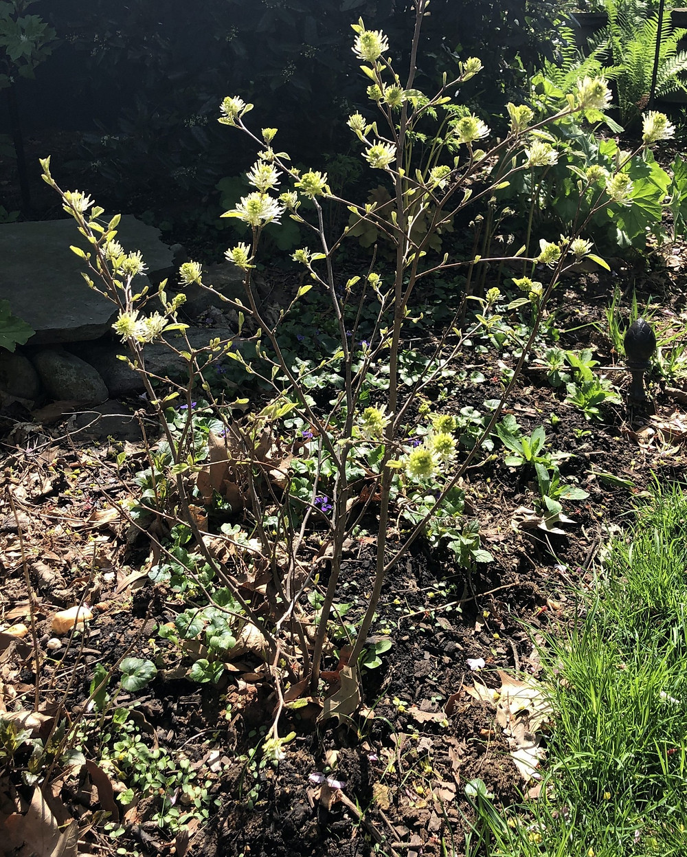 Dwarf Fothergilla blooming in spring
