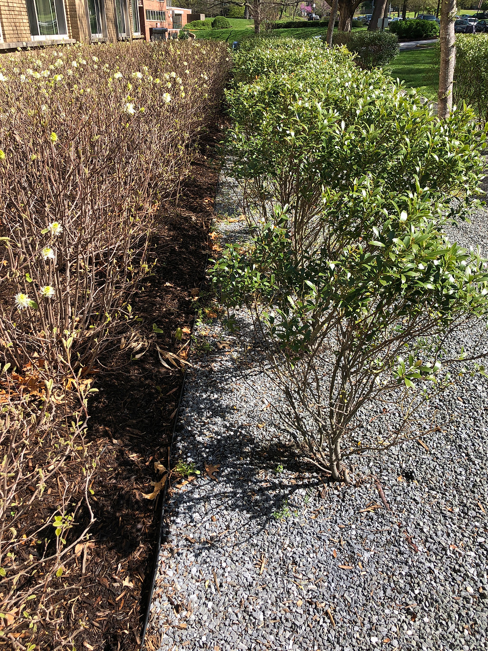 native Virginian and Maryland plants for hedges: inkberry and fothergilla