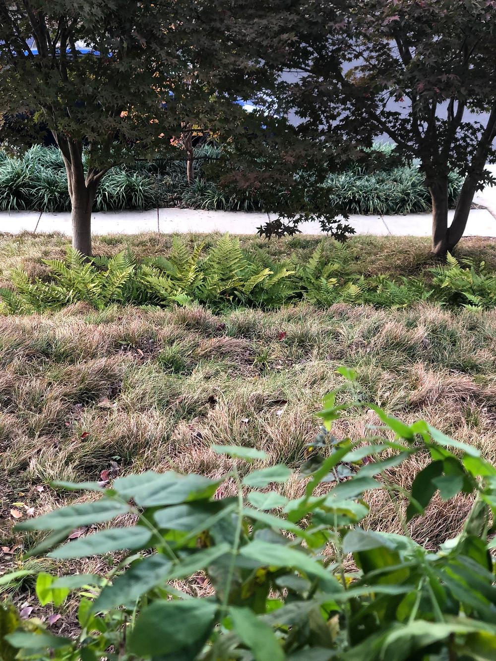 native oak sedge in fall