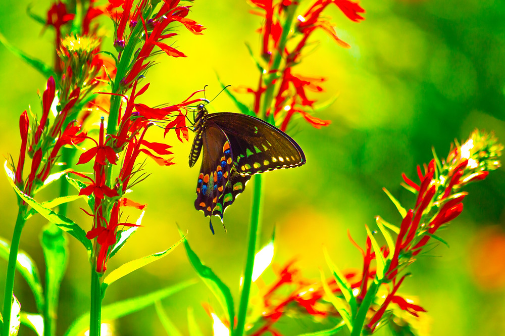 spicebush swallowtail butterfly native red cardinal flower