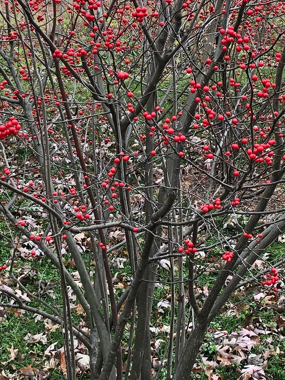 winterberries mid-Fall