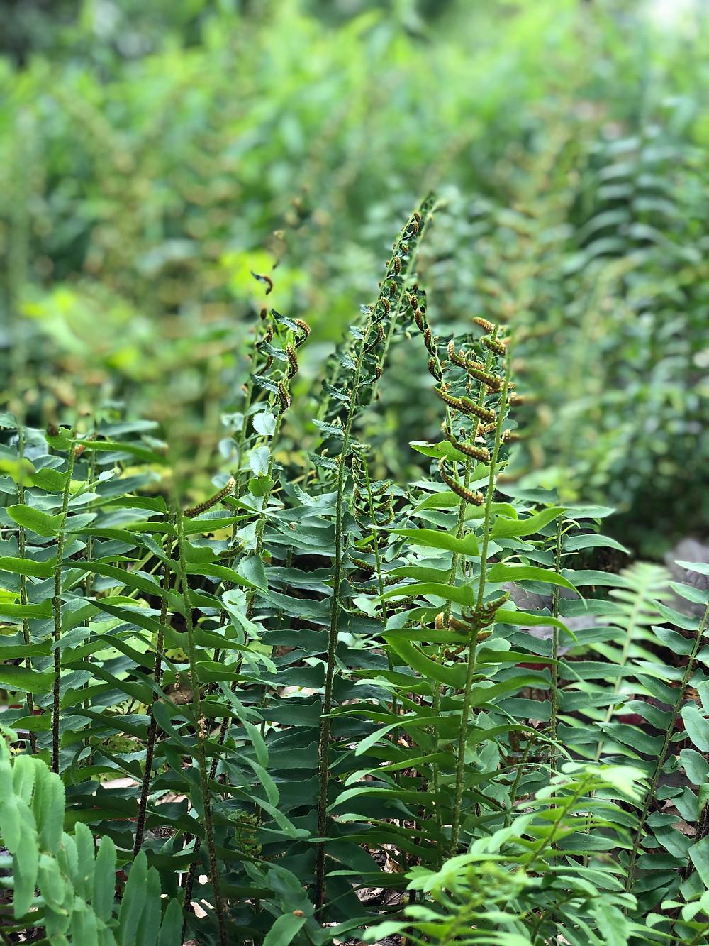 native fern for drier soils