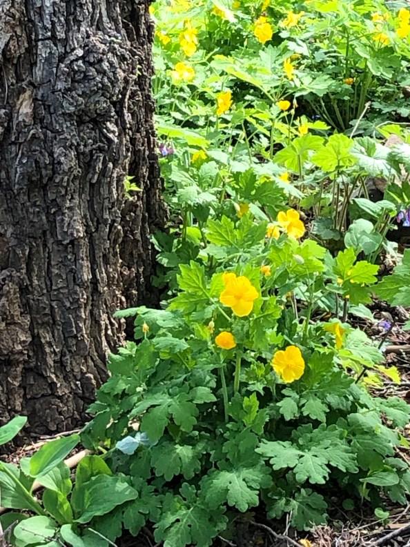 Virginia & Maryland Native Plants: Poppies Budding