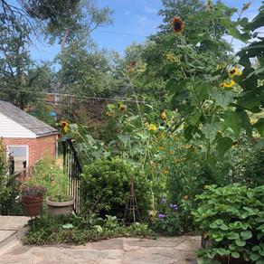 Native Plant Garden Tour: Loch Raven Townhome