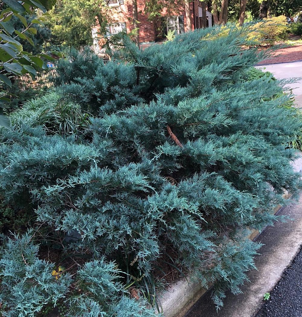 Eastern red cedar 'grey owl'