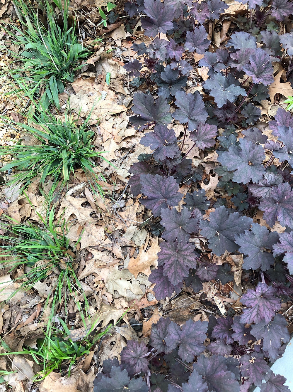 Blue wood sedge and heuchera 'frosted violet'