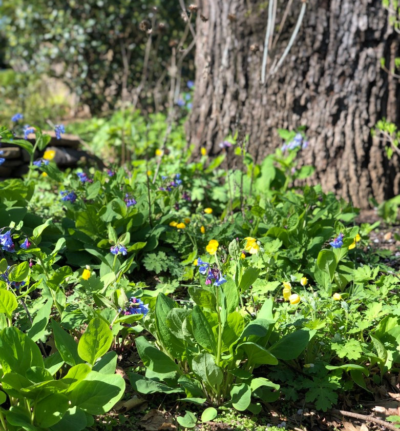 Virginia bluebells and native poppies
