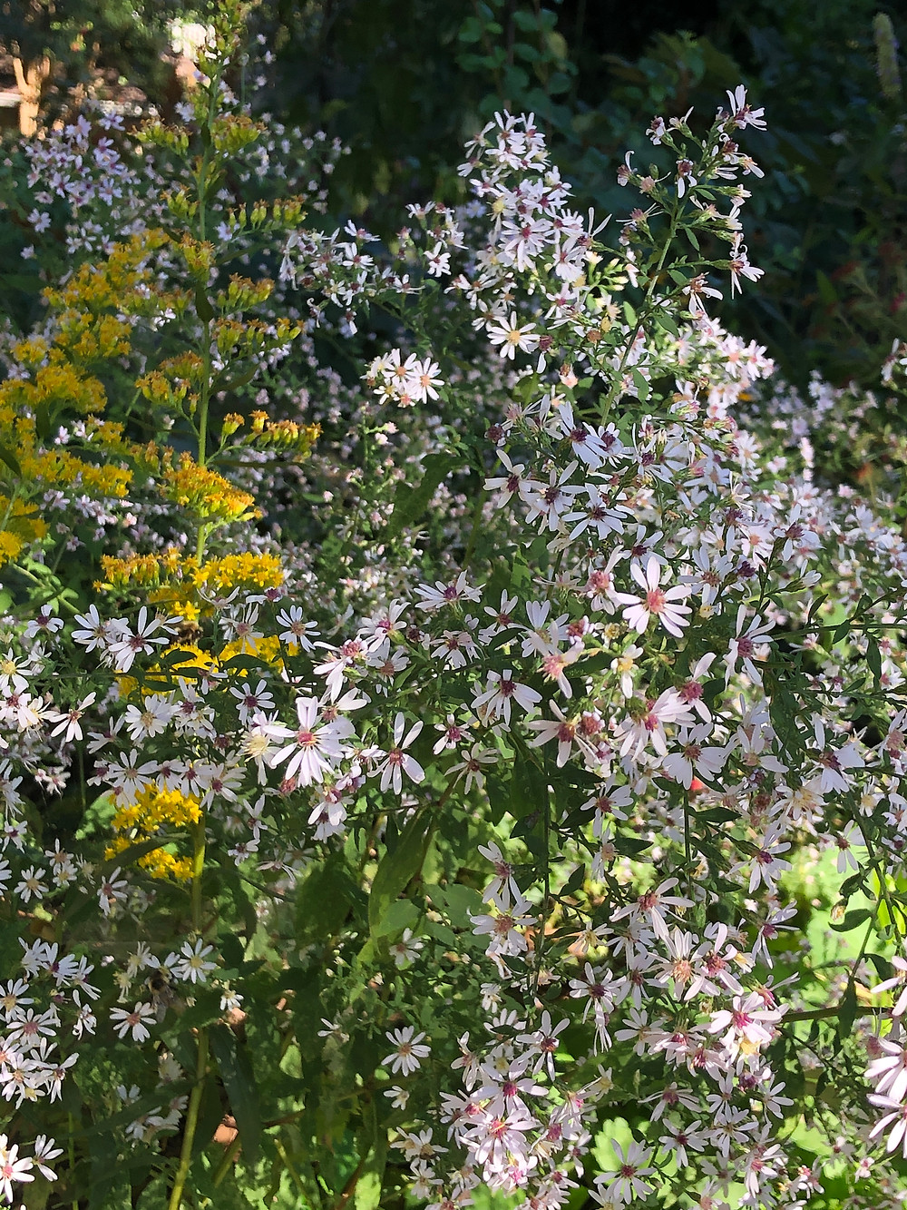 native wood aster blooming in shade