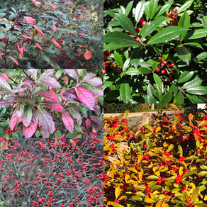 Gardening for the Chesapeake: Planting These Natives Instead of Nandina