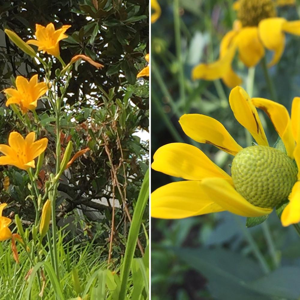 daylily yellow coneflower