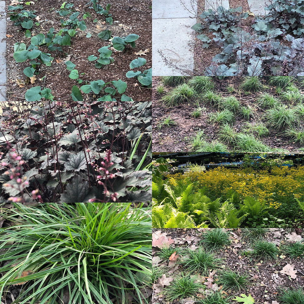 native plants for a shady tree lawn